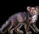 Darwin's Fox