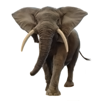 Huge item africanelephant 01