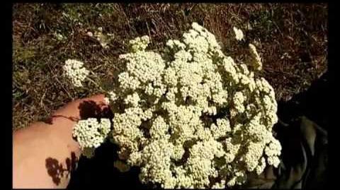 Сбор лекарственных растений Тысячелистник и полынь.
