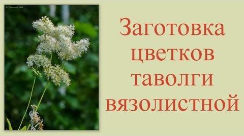 Сбор цветков таволги вязолистной