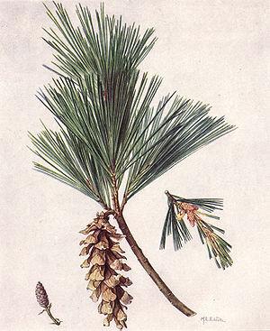 White Pine Cone and Tassel   Maine Wiki   Fandom