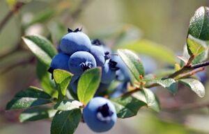 M wild blueberries