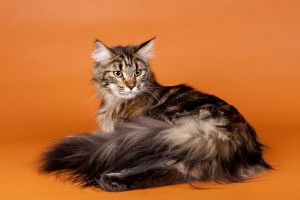 M maine coon