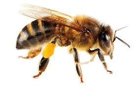 M honeybee