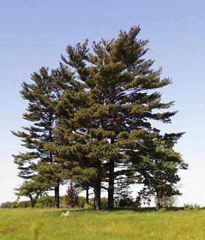 M white pine