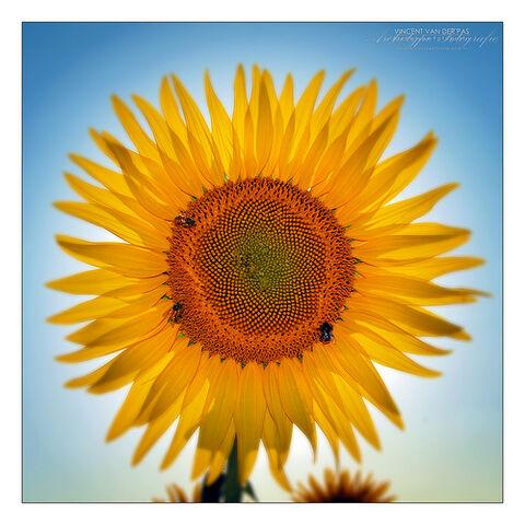 File:'Sun' By Flower.jpg