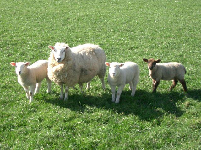 File:Sheep.jpg