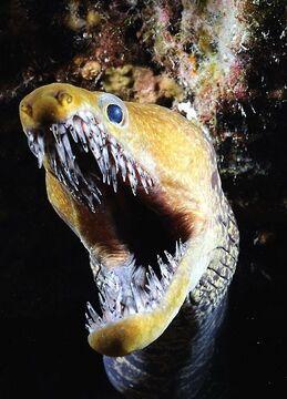 Fangtooth morray eel