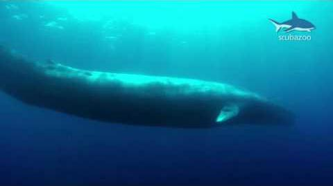 Amazing Blue Whale - the biggest animal on our Earth!