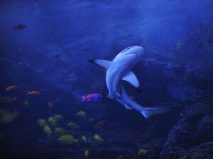 Blacktip-reef-shark 9036 600x450