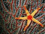 Maldives-sea-star 9407 600x450
