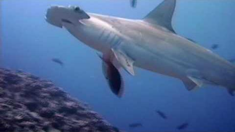 Shark Weekend - Great Hammerhead Shark