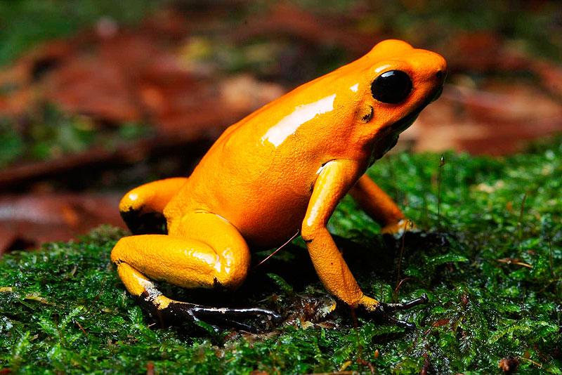 image golden poison frog jpg marine wiki fandom powered by wikia