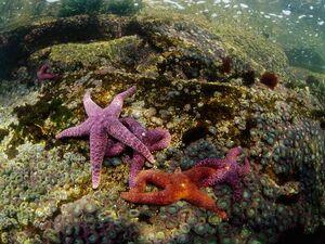 Colorful08-purple-sea-star 17432 600x450