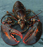 Maine Lobster.