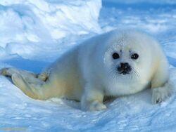 Harp-Seal-Pup---Arctic-Ocean-1