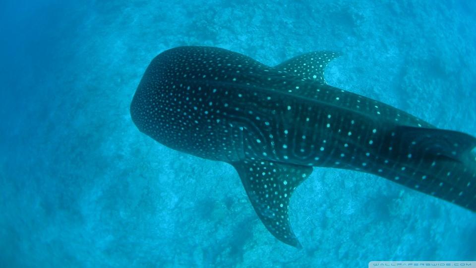 Whale Shark Wallpaper 960x540