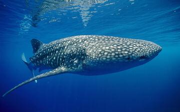 Whale shark underwater wallpapers