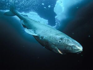 Greenland shark no text