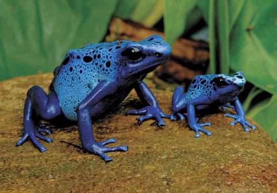 File:Blue arrow poison frog.jpg