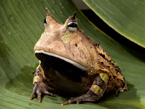 File:Amazon-horned-frog 443 600x450.jpg
