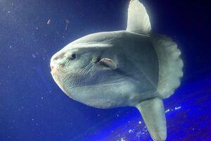 Oceansunfish
