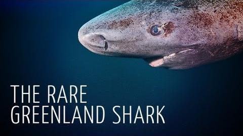 Rare Encounter with Greenland Shark - Adam Ravetch