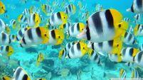 School of tropical fish tahiti-wallpaper-960x540