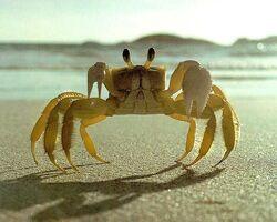 Crab-yellow