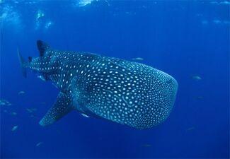 Whale-shark-kids-412030 15766 600x450