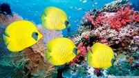 Yellow butterfly fish-wallpaper-960x540