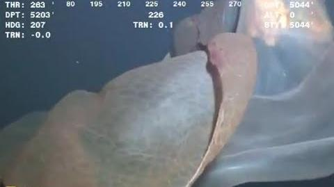 Giant Sea Creature Caught on Tape 2013