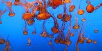 Dubaiaquarium-sea-nettles