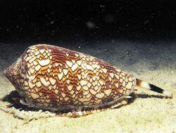 Dangerous09-cone-snail