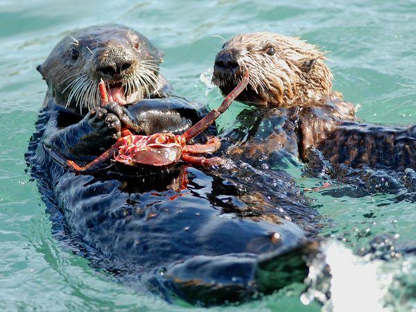 File:Endangered01-sea-otter 24051 600x450.jpg