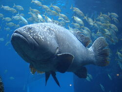 Giant grouper (Epinephelus lanceolatus) Wallpaper 6707h