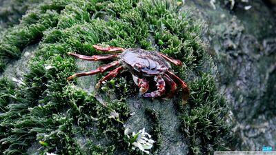 Sea crab-wallpaper-960x540