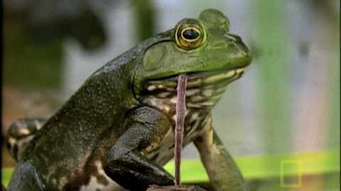 Bullfrog Hunts...Anything!
