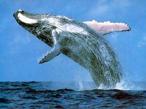 Humpback whale margaret river