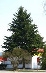 Pseudotsuga menziesii big tree Marki