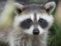 Raccoon Swag