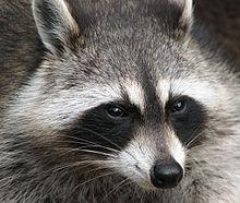 220px-Raccoon (Procyon lotor) 2