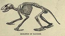 220px-racCoonskeleton
