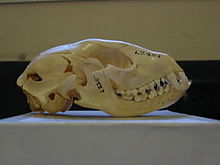 220px-Raccoon skull Pengo