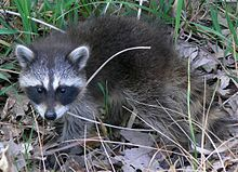 220px-Common Raccoon (Procyon lotor) in Northwest Indiana