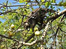 220px-Mm im Apfelbaum