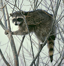 220px-Raccoon climbing in tree - Cropped and color corrected