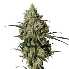 Lekarska-marihuana-orinoco-or-1-1