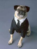 Phil Coulson Pug