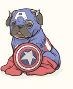 Captain America Pug